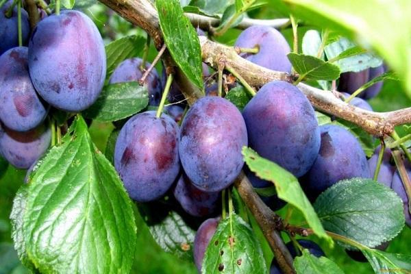 produs de prune