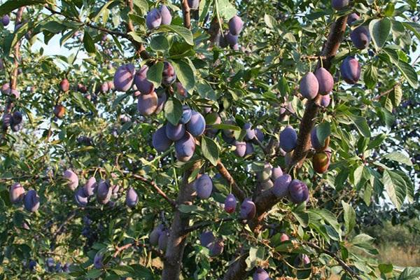 fructe de padure de pe copac