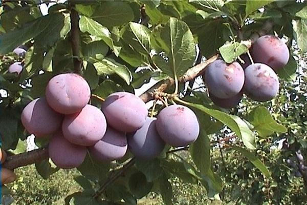 cultivarea fructelor