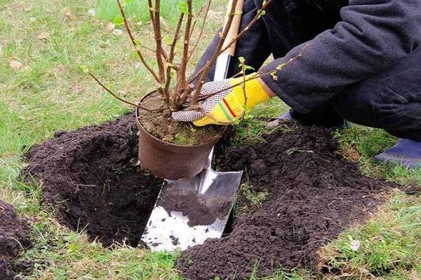 plantar de una maceta