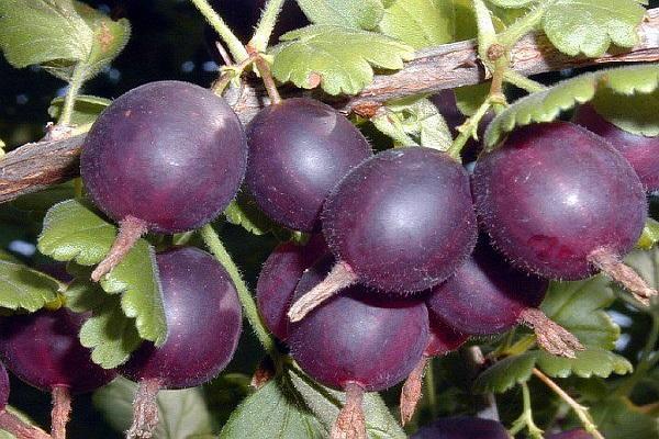 variedades moradas