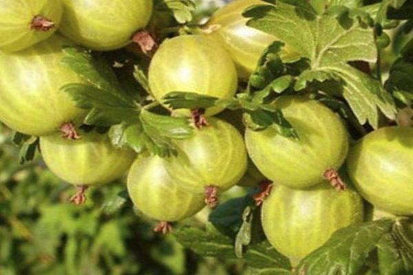 arbusto de fruta