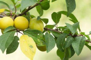 Descrierea și caracteristicile soiului de prune de cireș Zlato Scythians, polenizatori și cultivare