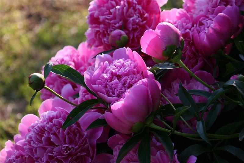 pioenrozen in bloembedden