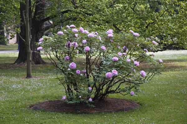 bloembed van pioenrozen