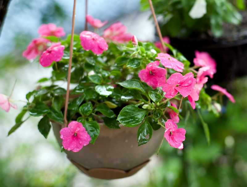 balzam v kvetináči