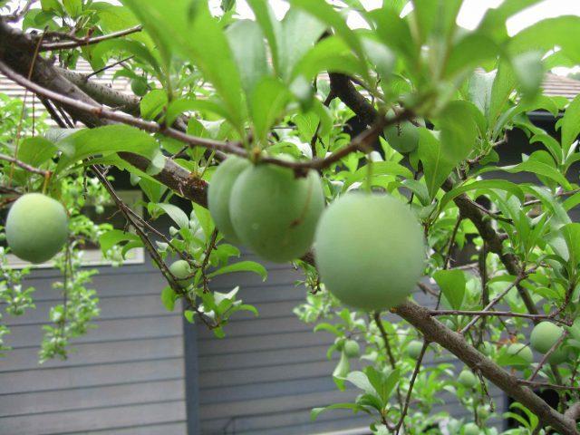 prune albe