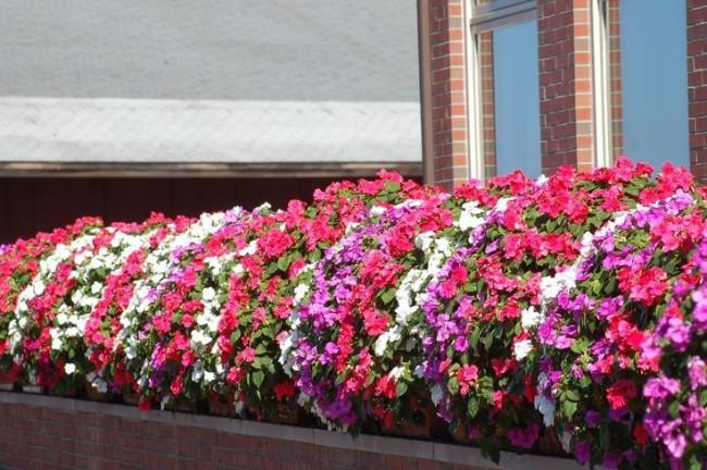 balzam v kvetinových záhonoch