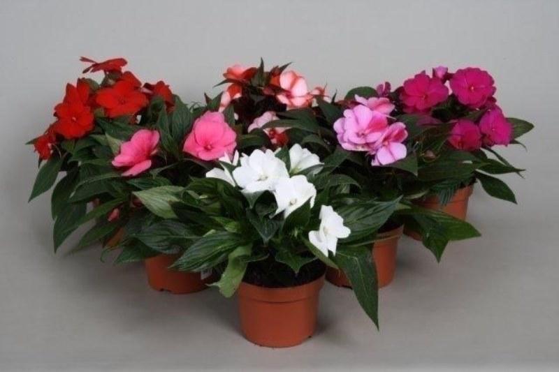 balzamy v kvetináčoch