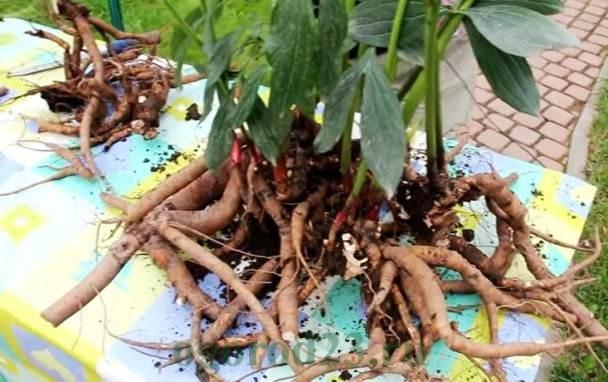 pioenwortels