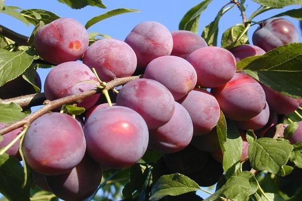 cireș de prune Călător
