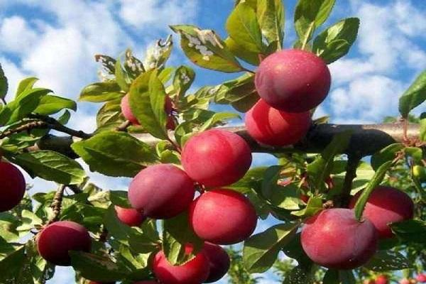 fructe mari
