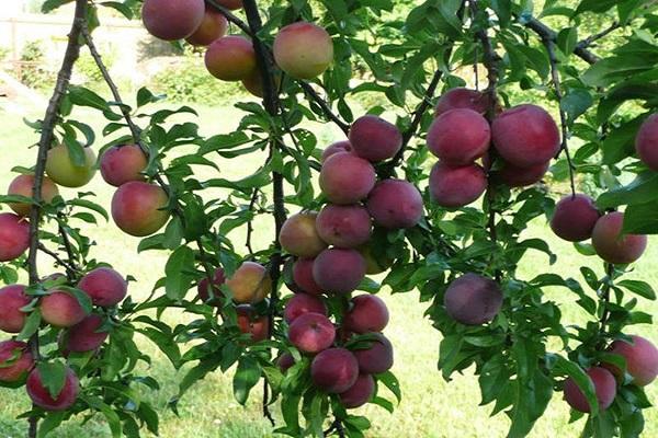pom fructific