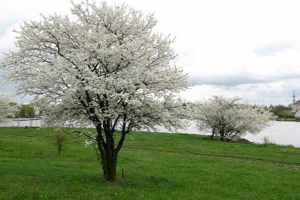 Descrierea soiului de prune Cireș Călător, polenizatori, plantare și îngrijire