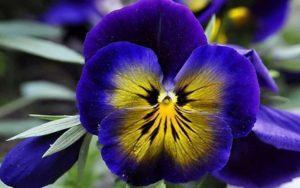 Plantarea, creșterea și îngrijirea panselor în aer liber