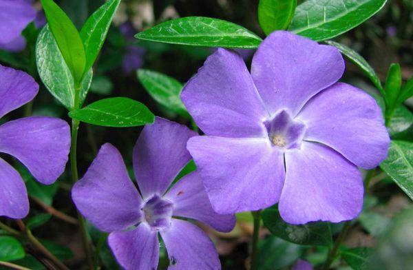 flori de periwinkle