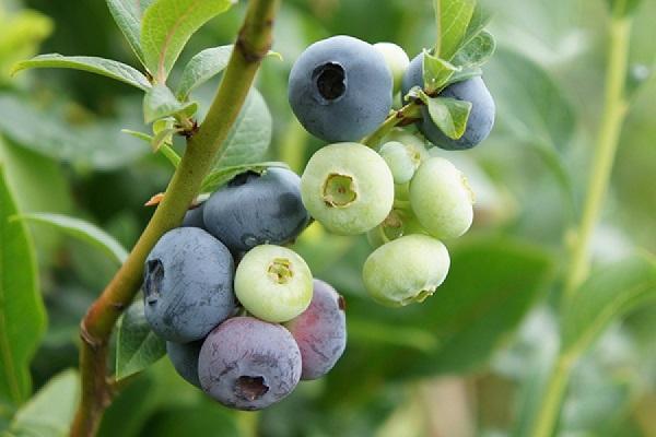 fructificando en las ramas