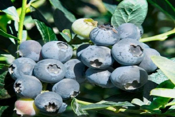 fructificación en arbustos