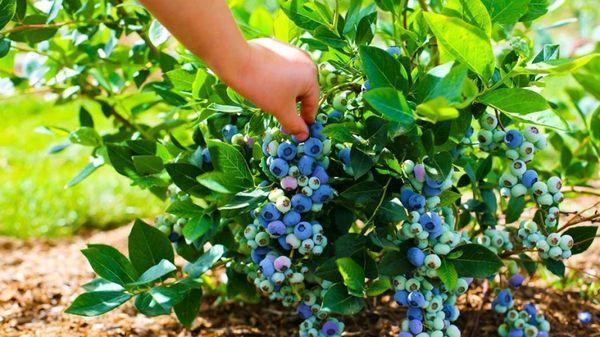 arbusto de arándanos