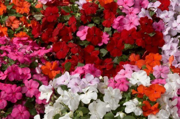 balzam na kvetinové záhony