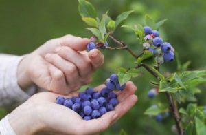 Cómo cultivar arándanos a partir de semillas en casa, reglas de plantación y cuidado.