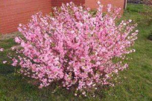 Descripción de la variedad de almendras Espuma rosada, reglas de plantación y cuidado en campo abierto.
