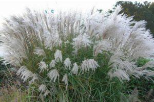 A miscanthus ültetése és gondozása a szabadban, típusok és fajták