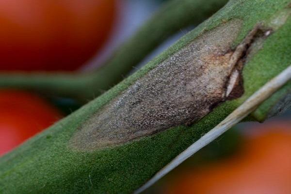 boala fungica