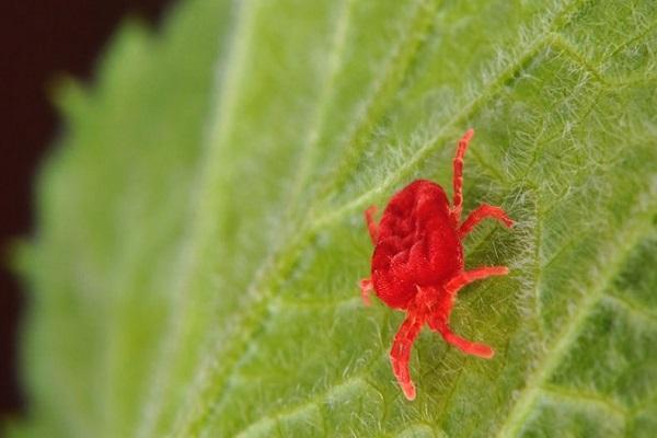 acarianul de păianjen