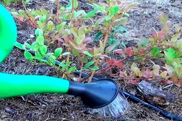 Regando plantas