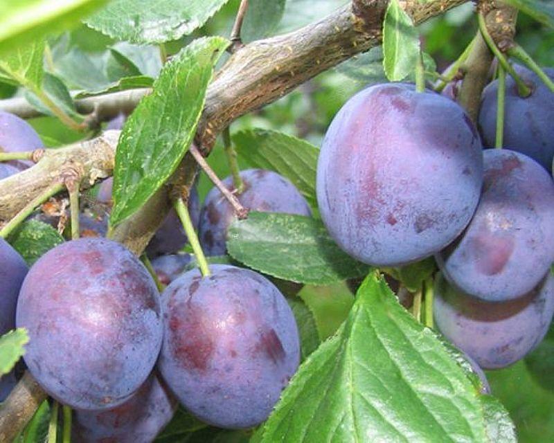 eurasia de prune