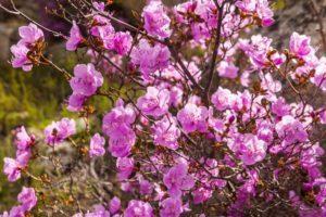 Opis odrody rododendronov Ledebour, výsadba a starostlivosť o rastliny, pestovateľské znaky