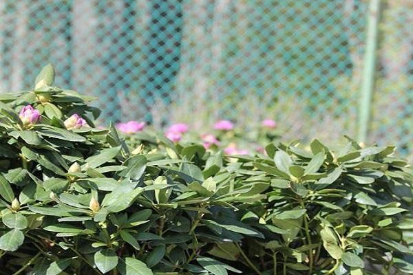 vigyázz a rododendronra