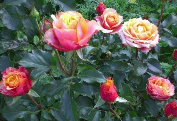 rózsabokrok