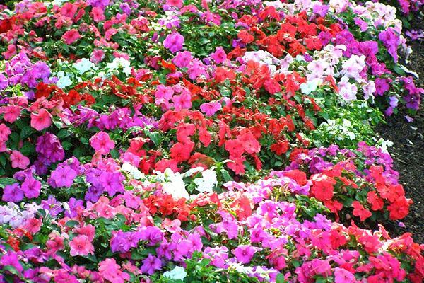 záhradný balzam