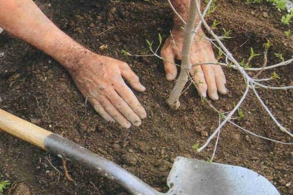 plantarea prunei