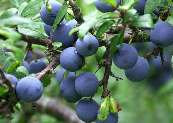 Fructe de prune