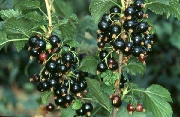 fructe de coacăze
