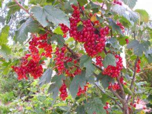 Περιγραφή και χαρακτηριστικά της ποικιλίας κόκκινης σταφίδας Nenaglyadnaya