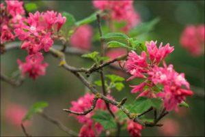 Descrierea soiurilor de coacăze roșii de sânge, reguli de plantare și îngrijire