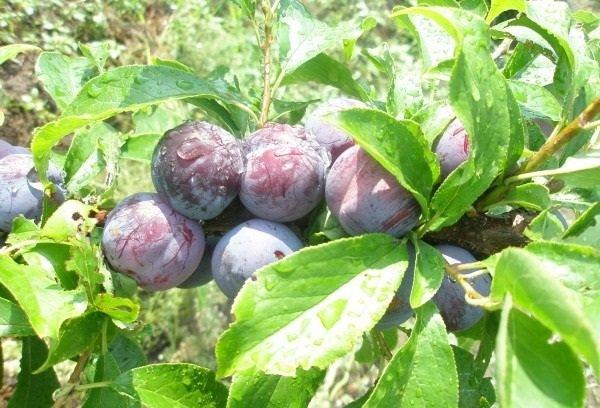 prune coapte