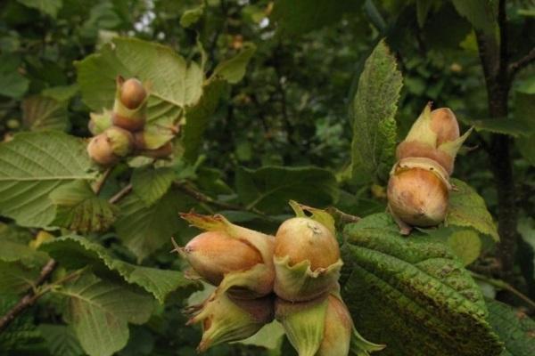 arbustos isaevsky