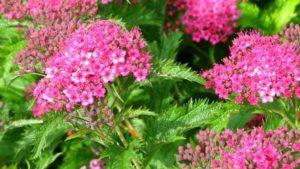 Spirea ültetése és gondozása otthon, szaporítás, metszés és átültetés