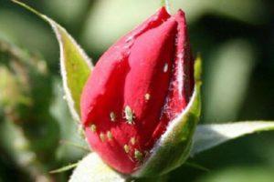Cómo tratar las rosas de los pulgones, cómo tratar las drogas y los remedios caseros.