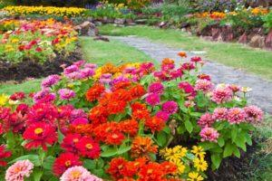 30 évelő zinnia típus leírása, ültetés és gondozás a szabadban