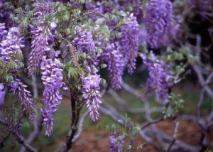 A wisteria ültetése, termesztése és gondozása a szabadban, a szaporítás módja