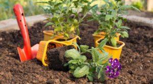 Selectarea soiurilor de verbena, cultivarea, plantarea și îngrijirea în câmp deschis