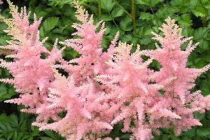 Caratteristiche e descrizione delle varietà di astilba America, semina e cura