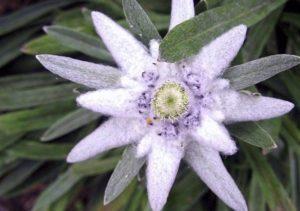 Descrizione della stella alpina alpina di montagna, che cresce da semi e cure
