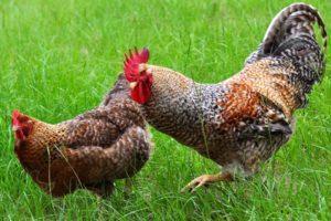 A Bielefelder csirkék leírása és jellemzői, tartási ajánlások